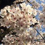 やっと青空をバックに桜の写真が撮れました♪
